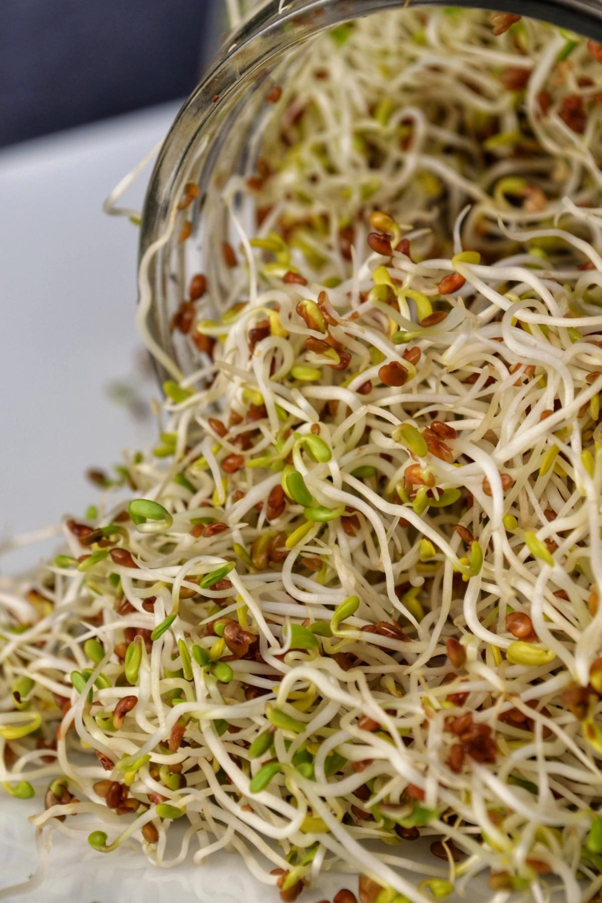 A big clump Alfalfa sprouts.