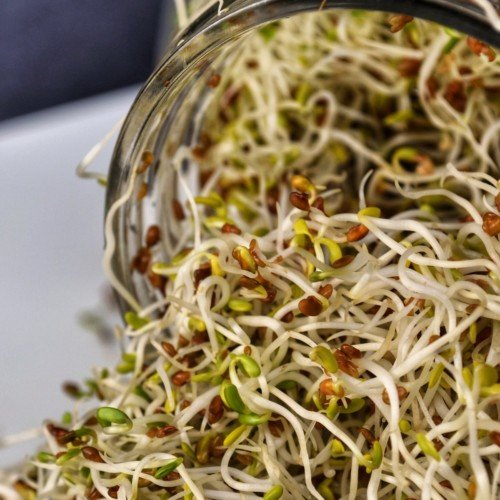 Spouted alfalfa sprouts in a jar.