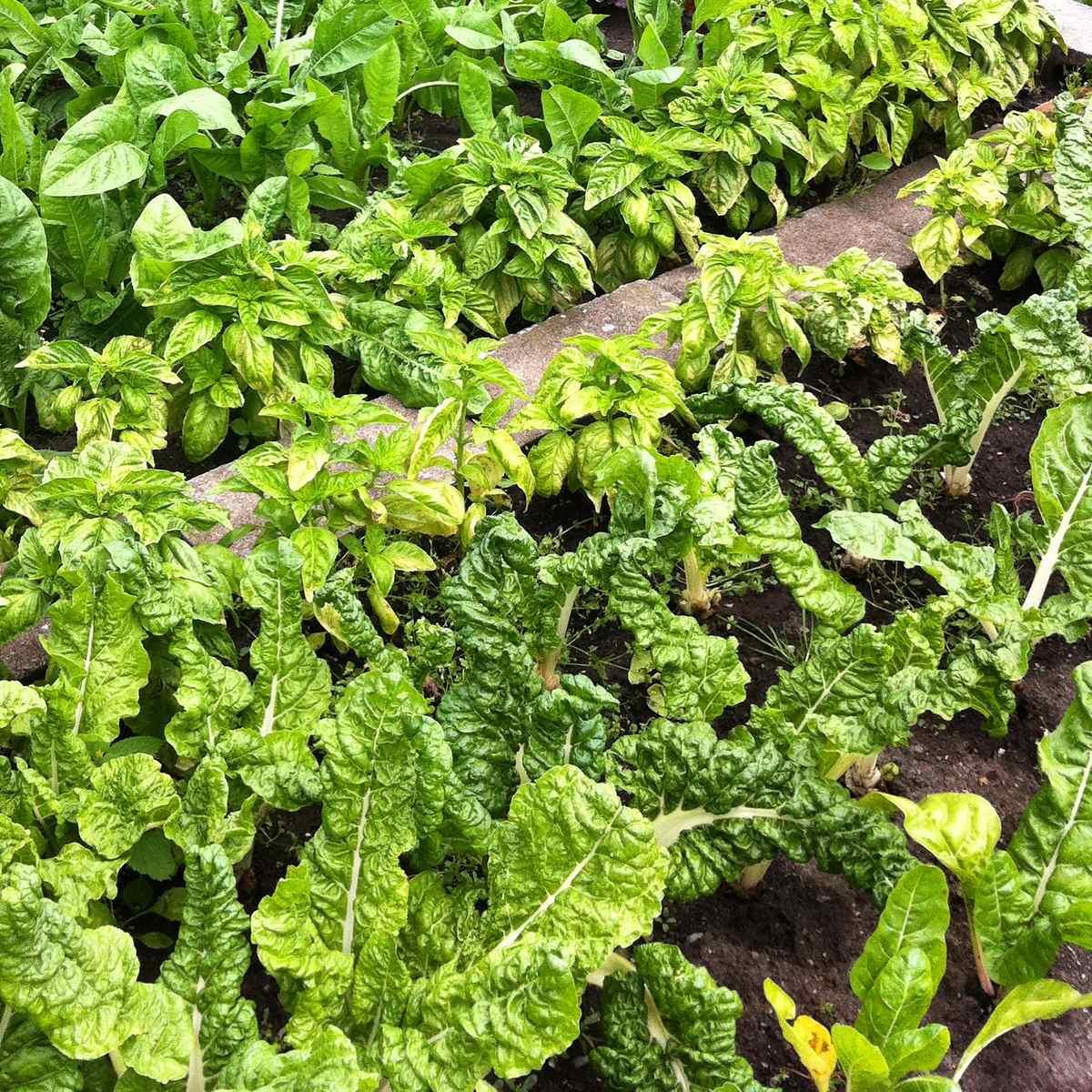 Swiss Chard (Bietola) growing in a garden.