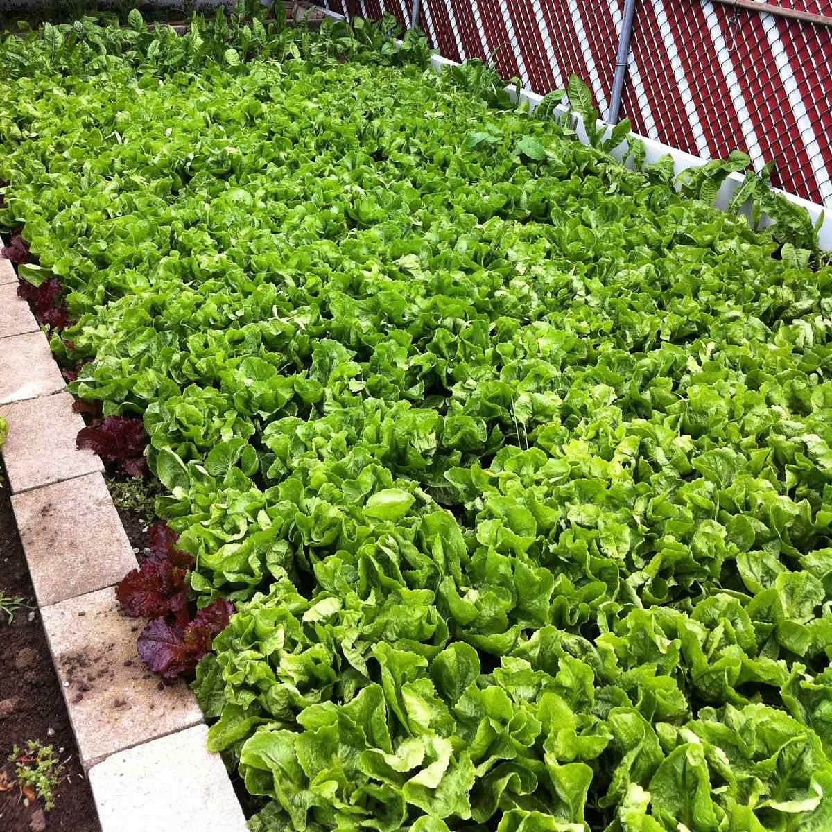 Collard greens growing in a garden.