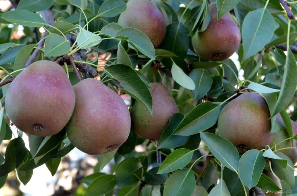 Agostino's Almond Pear Tart