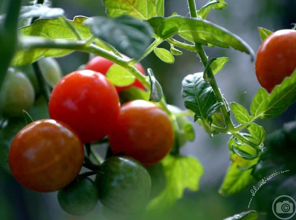 Sweet cherry tomatoes growing on a vine.
