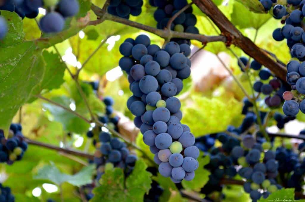 A close up of a bunch of Concord Grapes, hanging from a vine.