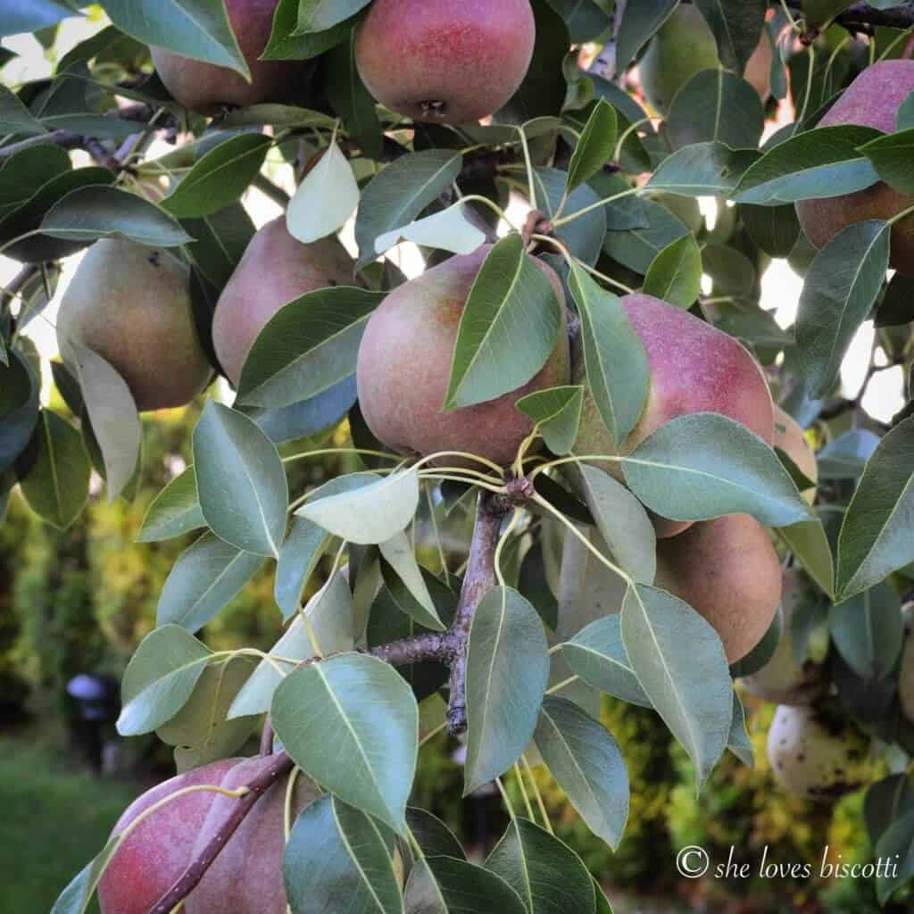 Fresh pears hanging from a pear tree.