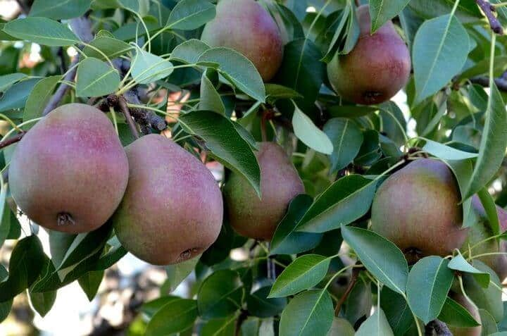 A close up of a pears hanging on a pear tree.