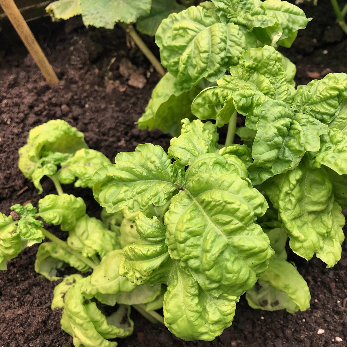 Sweet basil growing outdoors. It is the best variety of basil to make pesto sauce.