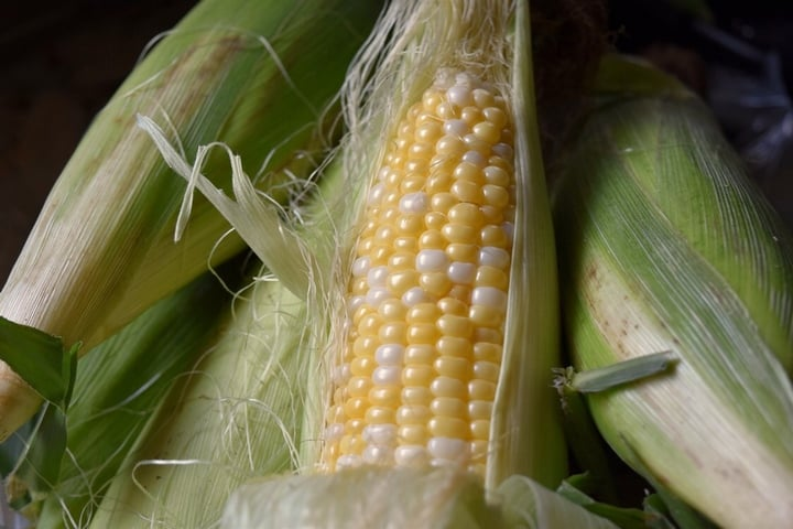 A fresh ear of corn with plump looking kernels.