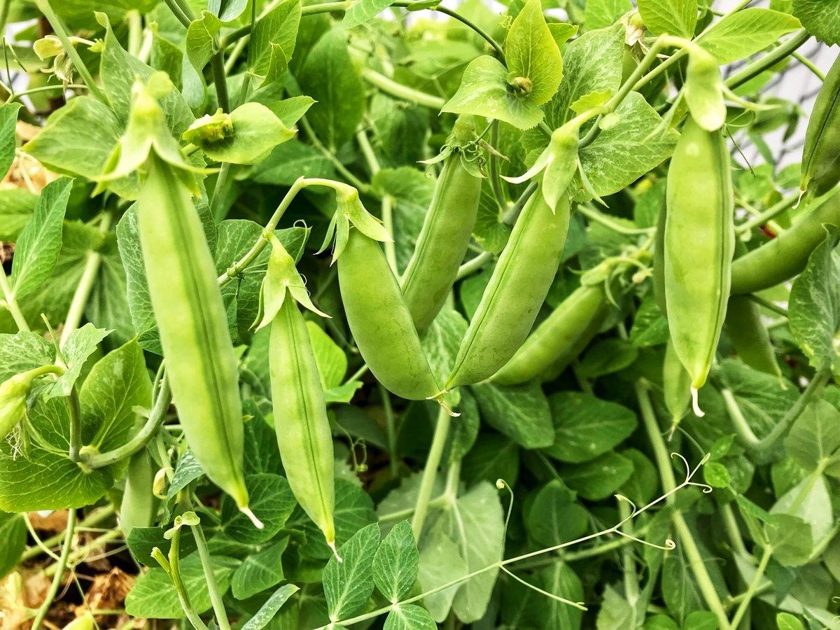 Fresh garden peas in a garden.