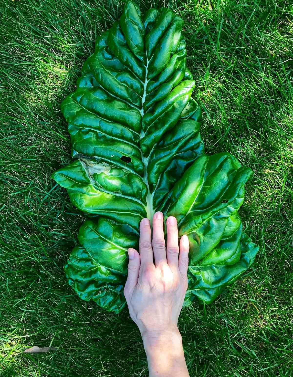 A hand over a large Swiss chard leaf.