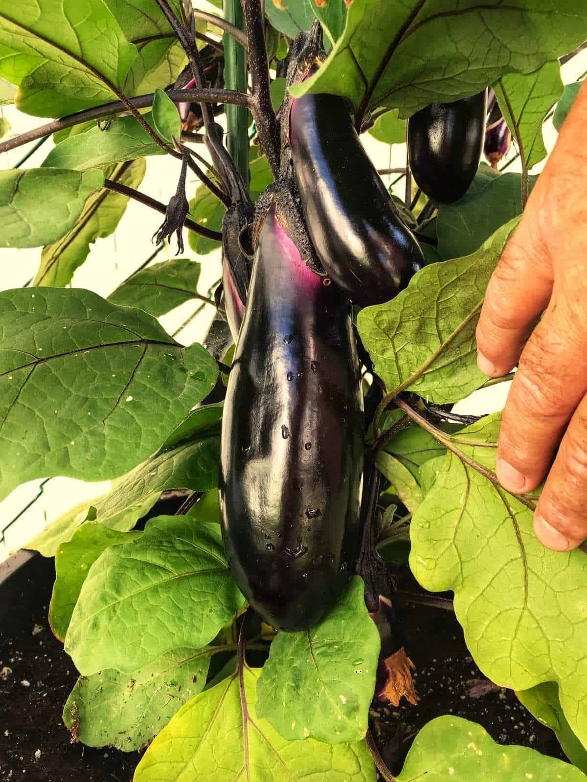 A hanging eggplant from a plant.