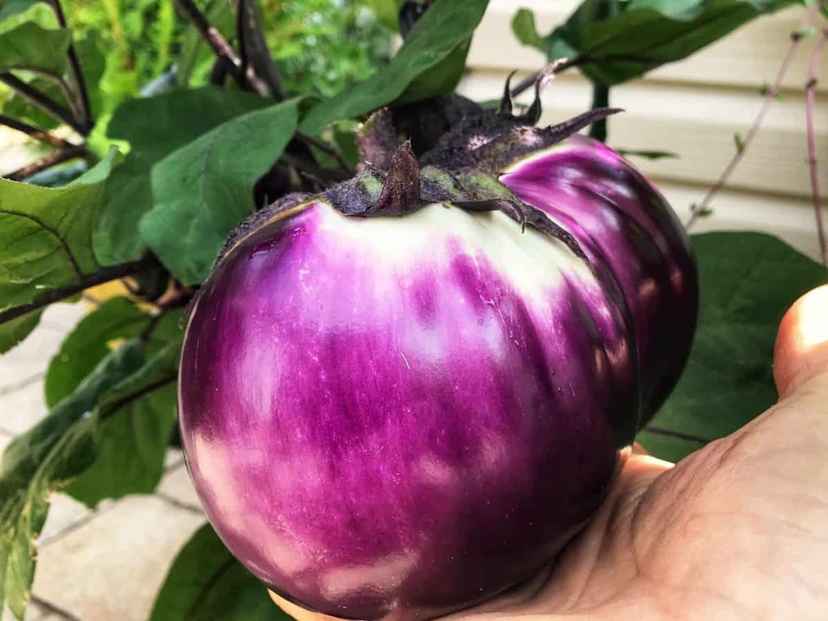 A Rosa Bianca eggplant.