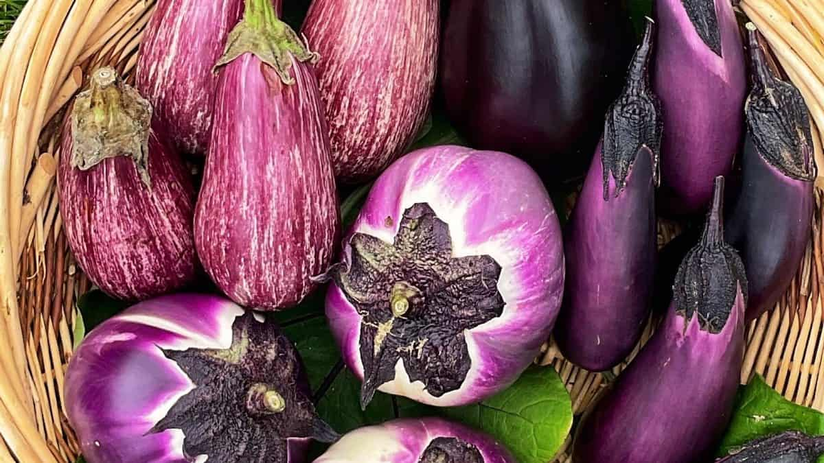 A variety of eggplants.