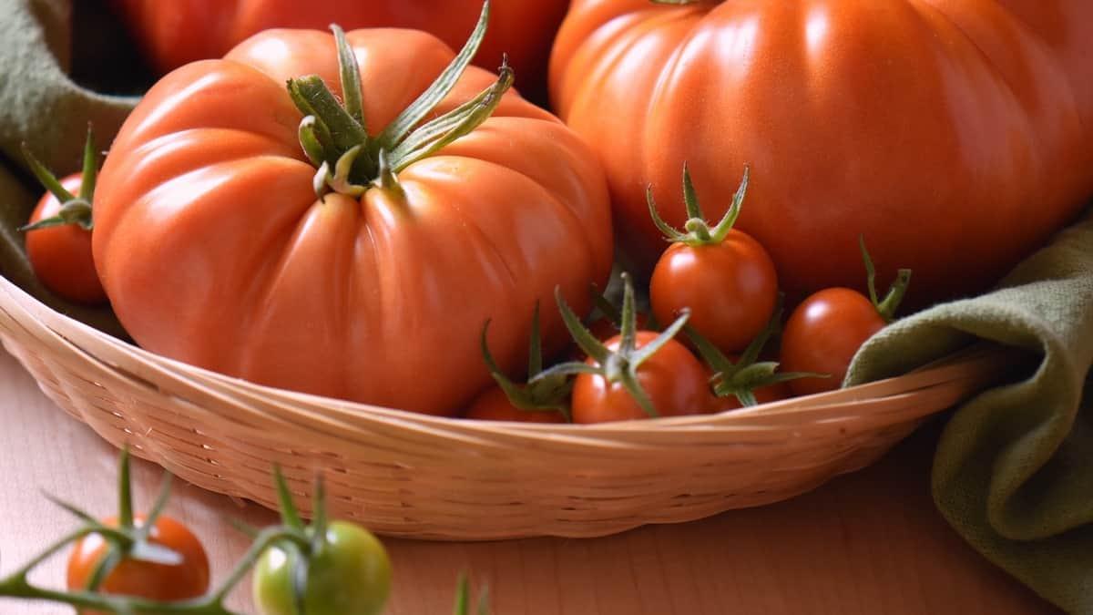 Fresh tomatoes in a wicker basket.