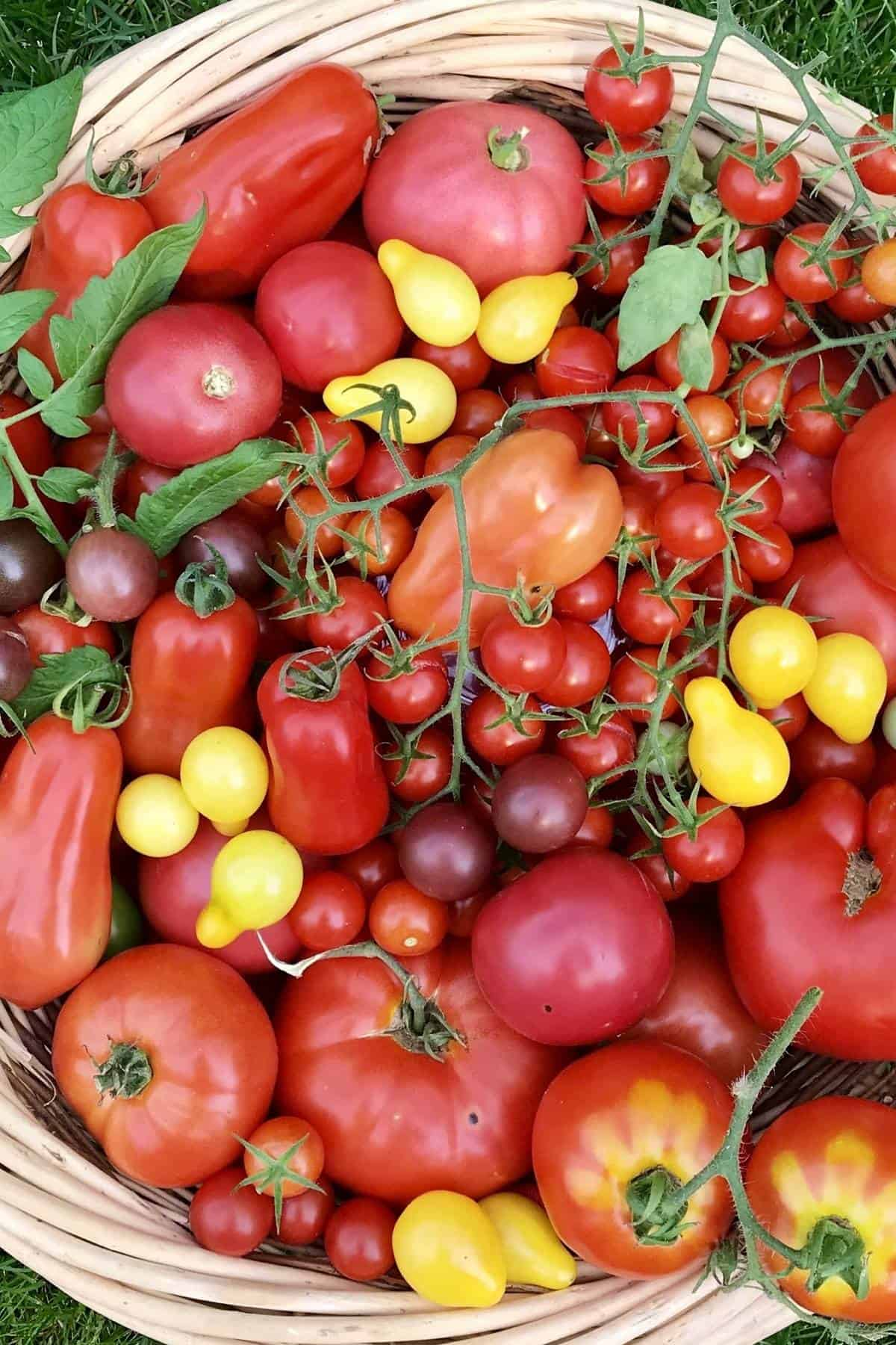 A variety of garden tomatoes in a large basket.